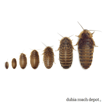 Juvenile Dubia roaches - various sizes
