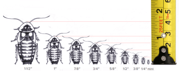 Dubia Roach Size Chart