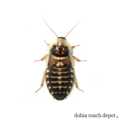 New adult female Dubia roach