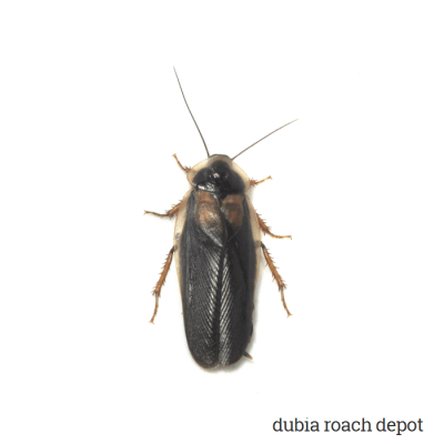 New adult male Dubia roach