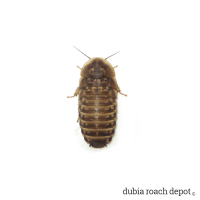 1-inch Dubia Roach Nymph product image
