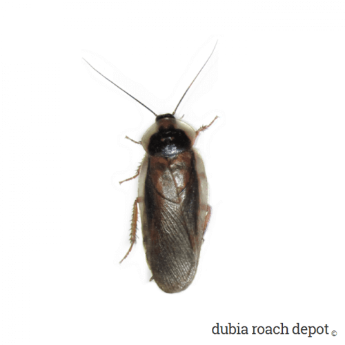 Adult Male Dubia Roach