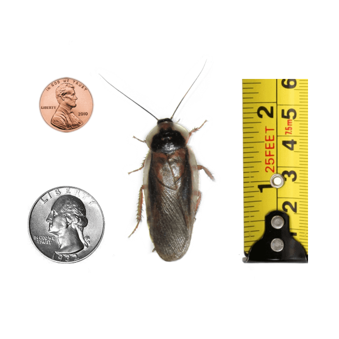 Adult Male Dubia Roach Size Comparison - Coins and Ruler