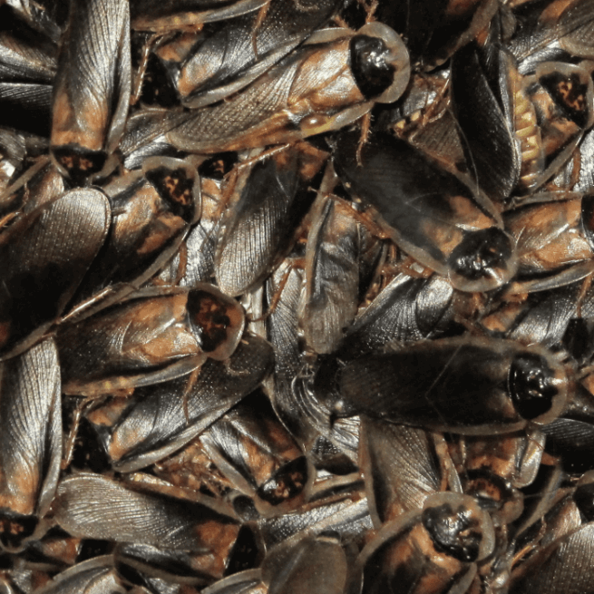 Mass of Adult Male Dubia Roaches