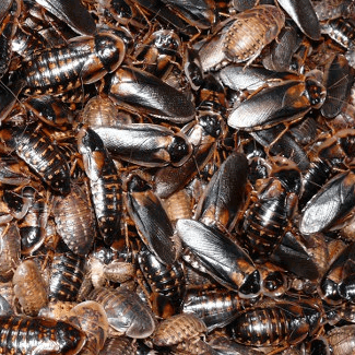 Dubia Roach Starter Colony