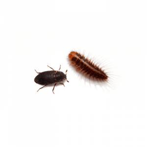 Should I Use Dermestid Beetles in My Dubia Roach Colony?