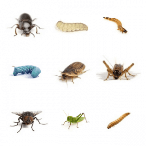 Dubia Roaches vs. Common Feeder Insects