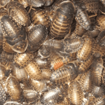 Mass of Dubia roaches