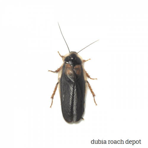 Newly-emerged Adult Male Dubia Roach