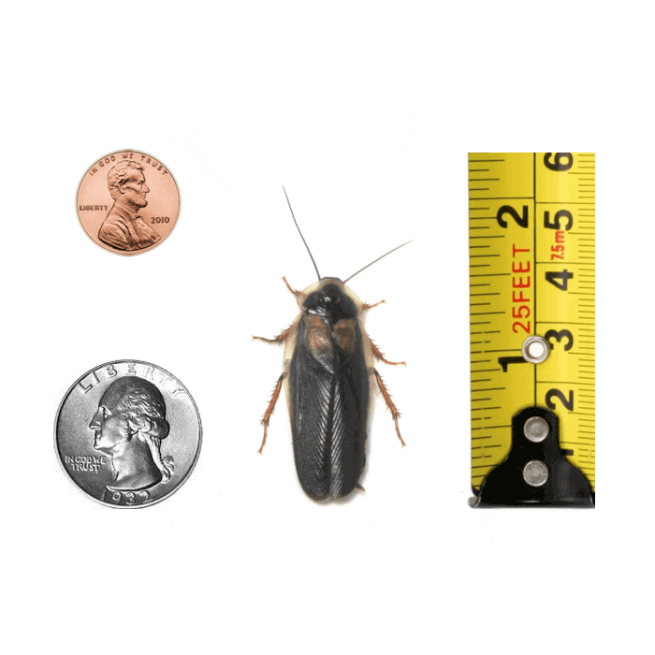 Newly Emerged Adult Male Dubia Roach product image