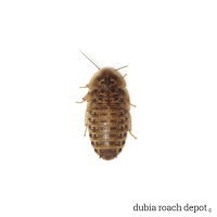 ¾-Inch Dubia Roach Nymph product image